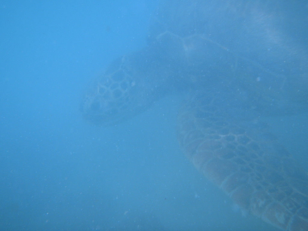 A turtle that swam right up to us!